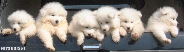 Samoyed Puppies in a Car