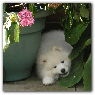 Samoyed puppy in the garden