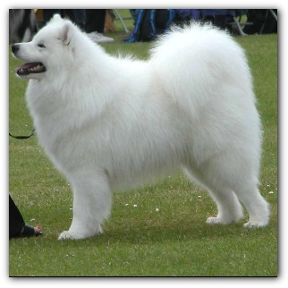 Showing Your Samoyed